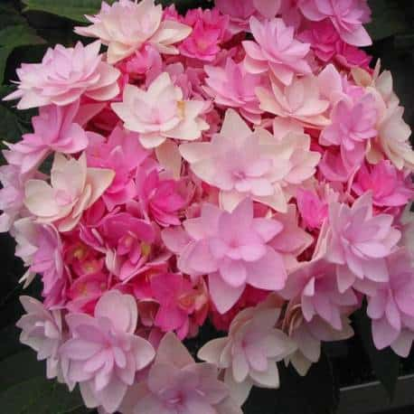 hortensja-ogrodowa-together-hortensja-macrophylla